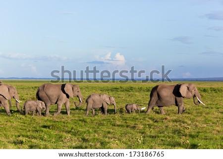 Elephants herd on African savanna. Safari in Amboseli, Kenya, Africa - stock photo