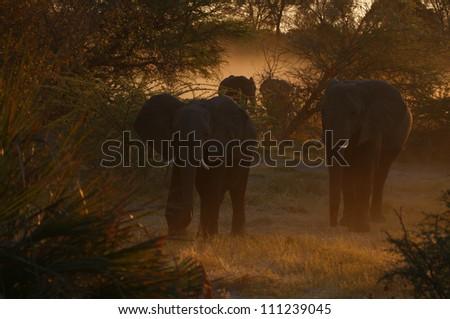 Elephants in golden light - stock photo