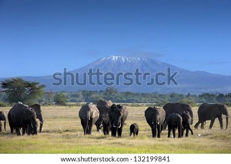 Elephants in  Kilimanjaro National Park - stock photo