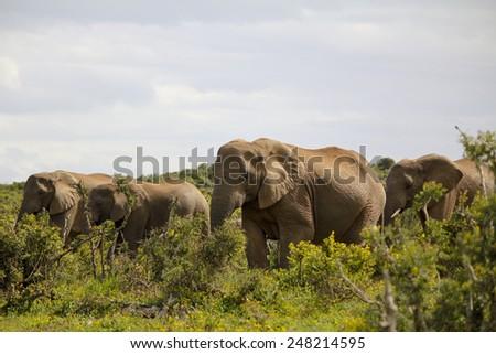 elephants in kruger national park - stock photo