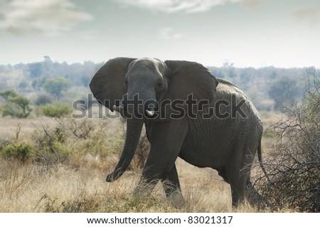 Elephants in kruger park South Afrika - stock photo