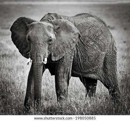 Elephants in maasai mara national park, Kenya.  - stock photo