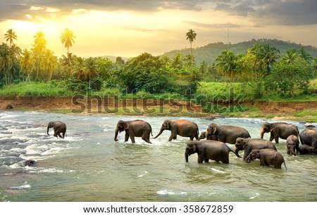 Elephants in river - stock photo