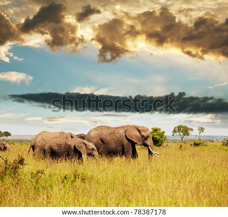 elephants in savannah - stock photo