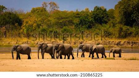 elephants in south luangwa park - stock photo