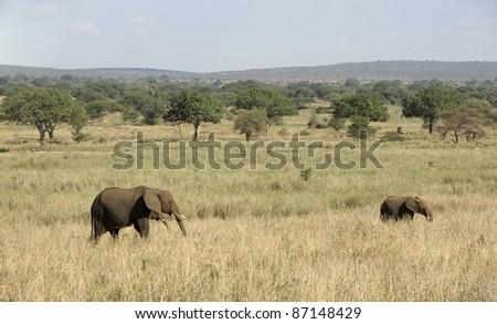 Elephants in Tanzania (Africa) - stock photo