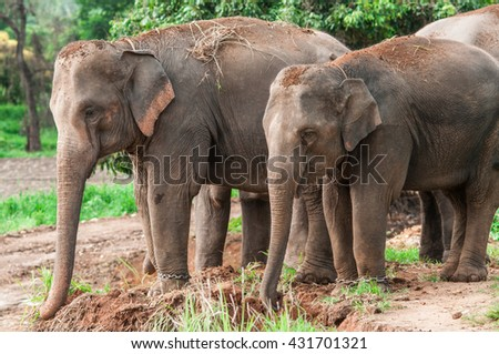 Elephants in Thailand.