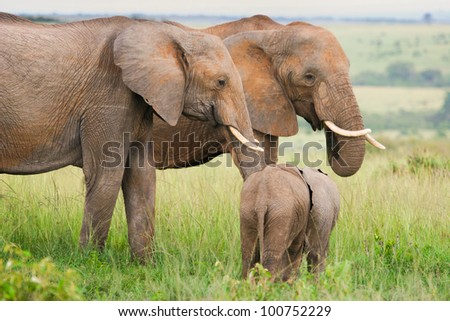 Elephants in the grass, Masai Mara, Kenya - stock photo