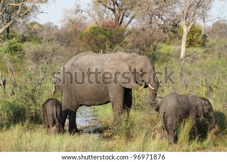 Elephants in The Okavango Delta, Botswana - stock photo