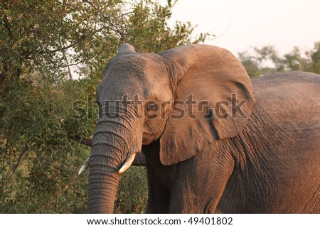 Elephants in the Sabi Sands Private Game Reserve, South Africa - stock photo