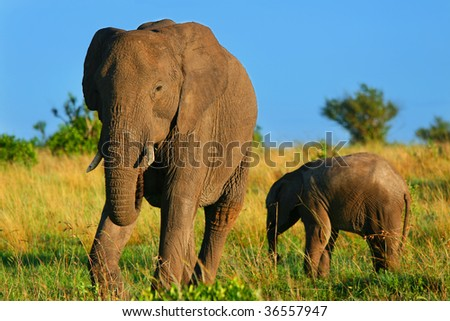 Elephants in the wild. Africa. Kenya. Masai Mara - stock photo