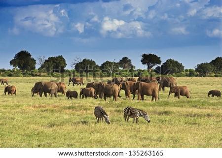 Elephants in Tsavo East Park 05 - stock photo
