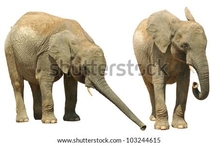 Elephants isolated on white background - stock photo