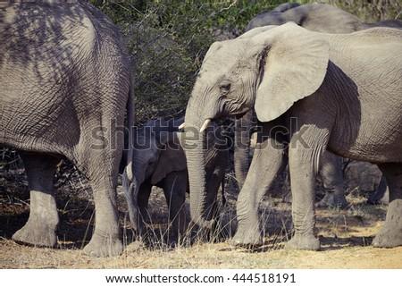 Elephants, Kruger National Park, South Africa - stock photo