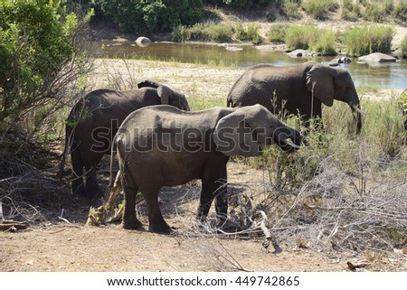Elephants, Kruger National Park, South Africa - stock photo