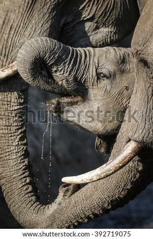 Elephants looking to drink water during drought, Kruger National Park, South Africa - stock photo