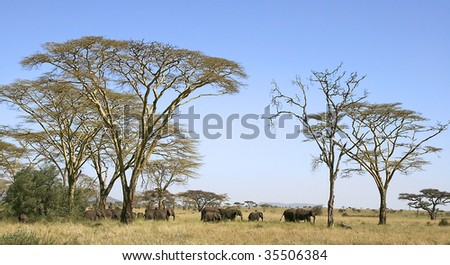Elephants (Loxodonta africana) in Serengeti National Park, Tanzania - stock photo