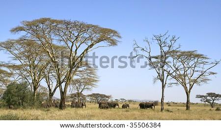 Elephants (Loxodonta africana) in Serengeti National Park, Tanzania - stock photo