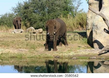 Elephants near water photographed at Bush Garden, Fl - stock photo