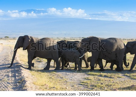 Elephants on african savannah with kilimanjaro mountain background
