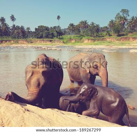 Elephants  on Sri Lanka - stock photo