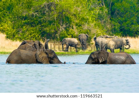 Elephants play with each other - stock photo