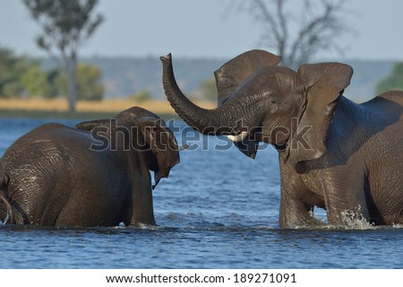 Elephants playing in Chobe river - stock photo