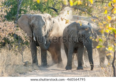Elephants playing in the sand near Bela Bela, South Africa