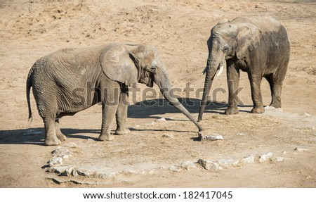 Elephants playing with their trunks - stock photo