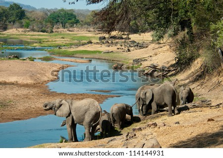 Elephants quenching their thirst in the Great Ruaha River, Tanzania. - stock photo