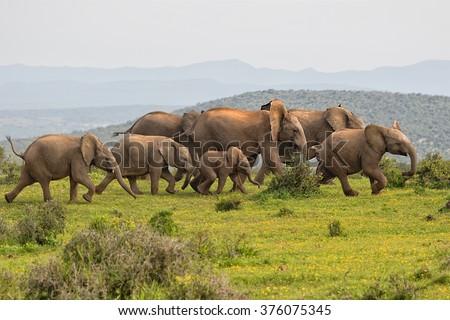 elephants running at addo elephant park south africa - stock photo