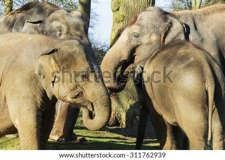 Elephants swapping notes. Four Asian elephants get their heads together.