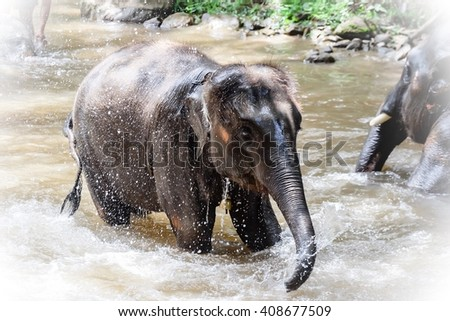 Elephants take a bath in Maesa river. Chaingmai, Thailand