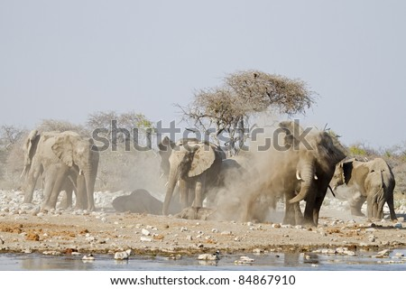 Elephants taking a dust bath; Loxodonta africana; Etosha - stock photo