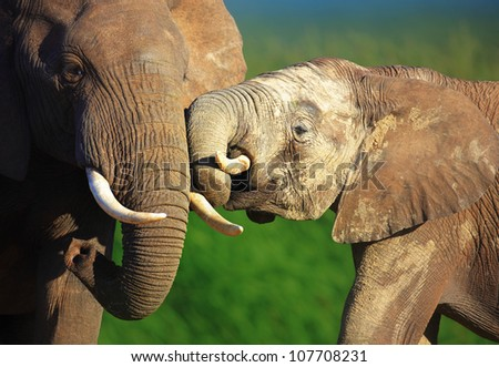 Elephants touching each other gently - Addo National Park - stock photo