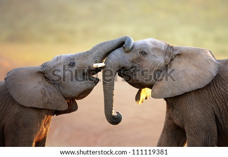 Elephants touching each other gently (greeting) - Addo Elephant National Park - stock photo