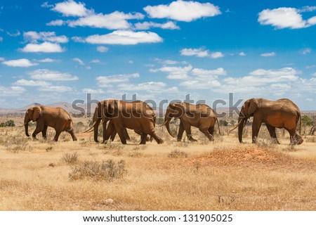 elephants, Tsavo national park, kenya - Africa - stock photo