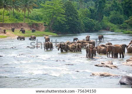 Elephants wading in river - stock photo