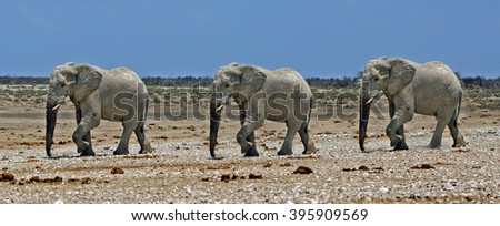 Elephants walking across the savannah in Etosha Nationl Park