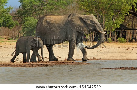 Elephants Walking in camp in Hwange National Park
