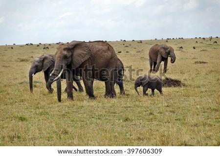 Elephants walking in grass in Masai Mara National Park, Kenya - stock photo