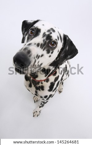 Elevated portrait view of a Dalmatian against white background - stock photo