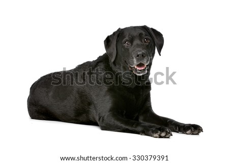 Eleven years old black Labrador in front of a white background - stock photo