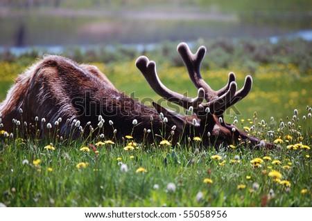 Elk - stock photo