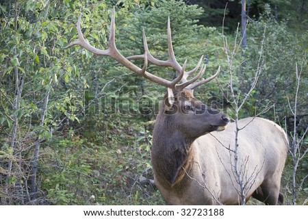 Elk antlers giving a side profile - stock photo