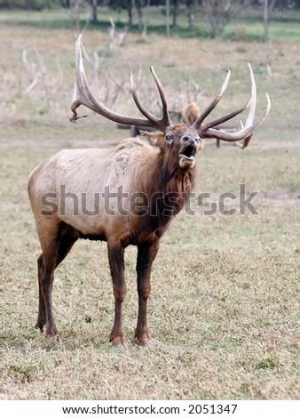 Elk, Bugle, Deer, Antlers, Herd, Caribou, moose, Bull, Cow - stock photo