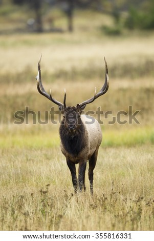 Elk, Cervus canadensis, bull, near the Madison River, Yellowstone National Park, Wyoming, United States - stock photo