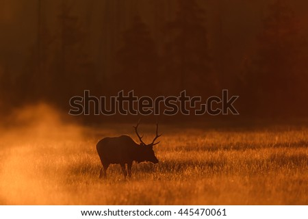 Elk (Cervus canadensis) - In Morning Light