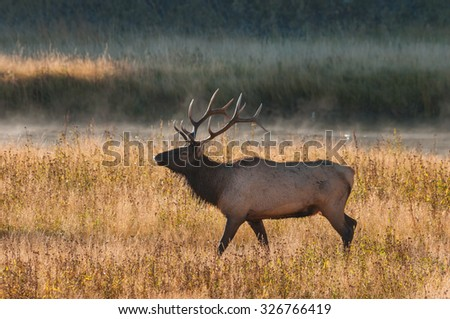 Elk during fall rut in Yellowstone National Park Wyoming. - stock photo