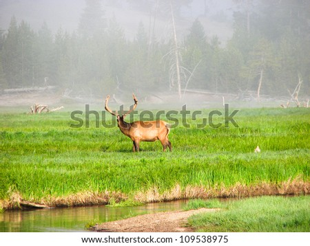 Elk fawn grazing in a meadow near a river in Yellowstone National Park - USA - stock photo